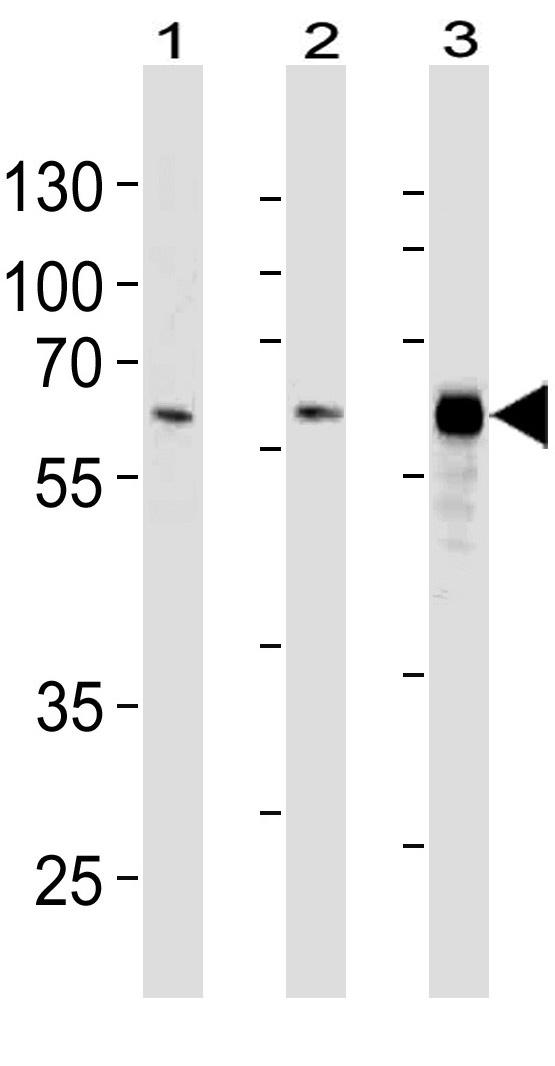 Mouse Monoclonal Antibody to HDAC1 (Clone: 1061CT1.3.1)