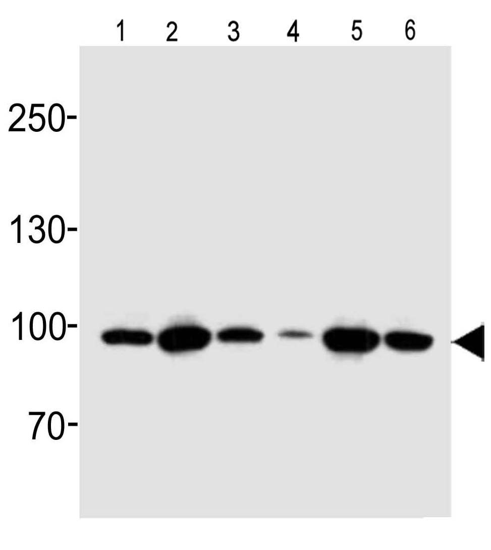 Mouse Monoclonal Antibody to Hsp90 (Clone: 803CT9.1.2)(Discontinued)