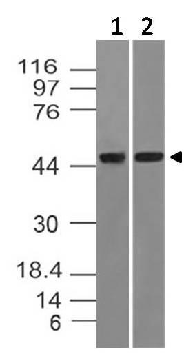 Monoclonal Antibody to DNMT2 (Clone: ABM1H70)