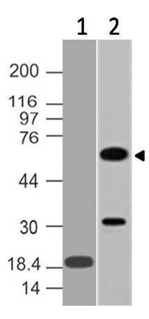 Monoclonal Antibody to CDC25A (Clone: ABM4A46)
