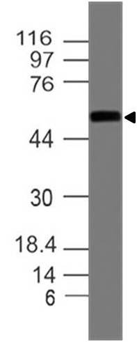 Monoclonal antibody to ICAM-1 (Clone: ABM5B10)