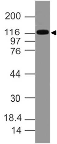 Monoclonal antibody to FLT3/CD135 (Clone: ABM5C12)