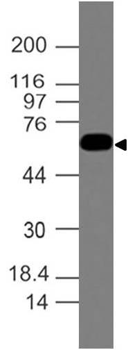 Monoclonal antibody to Ferroportin-1 (Clone: ABM51D1)