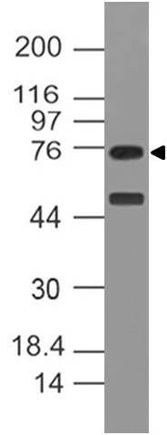 Monoclonal antibody to NOX4 (Clone: ABM51H8 )