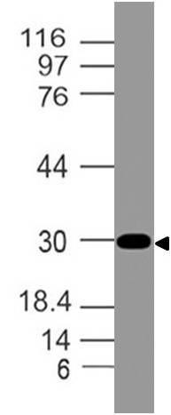 Monoclonal antibody to CLIP (Clone: ABM52H4)