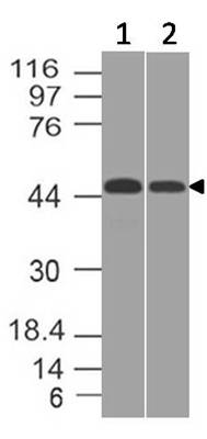 Fig-6: Western blot analysis of PDL1. Anti-PD-L1 antibody (Clone: ABM5F25) was tested at 0.5 µg/ml on (1) U87 and (2) THP1 lysates.