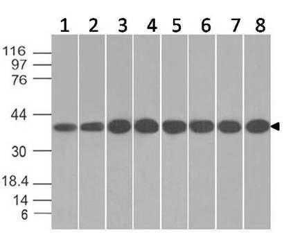 Monoclonal antibody to  Annexin I (Clone: ABM5D80)
