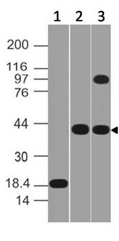 Monoclonal antibody to MSi-1 (Clone: ABM5D50 )