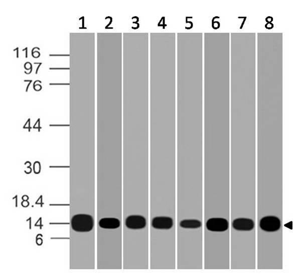 Monoclonal Antibody to Galectin-1 (Clone: ABM5B54)