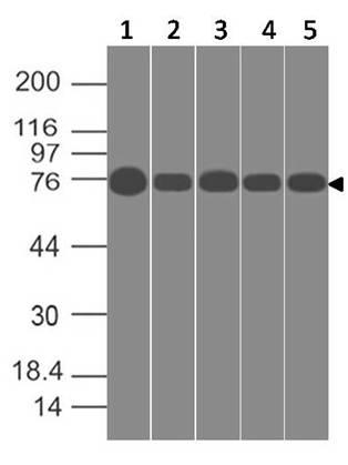 Monoclonal antibody to SPARCL1 (Clone: ABM5C3.2G1)