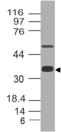 Monoclonal Antibody to SOX2 (Clone: ABM46A5)