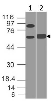 Monoclonal antibody to BIN1 (Clone: ABM57E4)