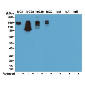 Biotinylated Recombinant Rabbit Monoclonal Antibody  to Mouse IgG (Clone: RM104)(Discontinued)
