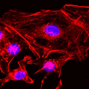 Recombinant Rabbit Monoclonal Antibody  to  Beta -actin  (Clone: RM112)(Discontinued)