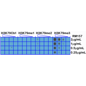 Recombinant Rabbit Monoclonal Antibody  to Trimethylated Histone H3 Lysine 79, H3K79me3 (Clone: RM157)