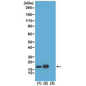 Recombinant Rabbit Monoclonal Antibody  to Acetylated Histone H3 Lysine 23 (K23ac) (Clone: RM169)(Discontinued)