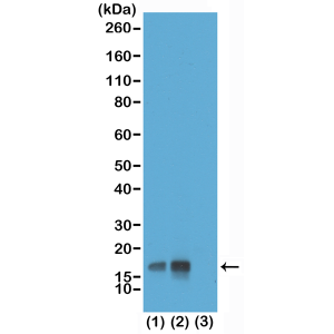 Recombinant Rabbit Monoclonal Antibody  to Phospho-Histone H3 (Thr3) (Clone: RM159)(Discontinued)