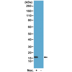 Recombinant Rabbit Monoclonal Antibody  to Phospho-Histone H2B (Ser14) (Clone: RM238)(Discontinued)