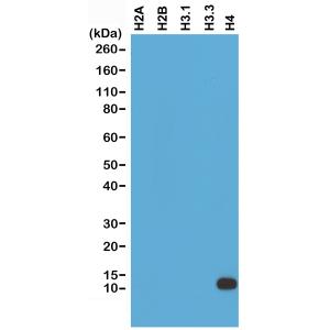 Recombinant Rabbit Monoclonal Antibody  to Histone H4 (Clone: RM212)(Discontinued)