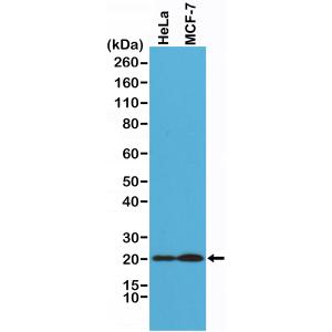 Recombinant Rabbit Monoclonal Antibody  to Smac/Diablo (Clone: RM271)(Discontinued)