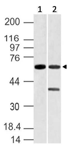 Polyclonal Antibody to Vang like-1
