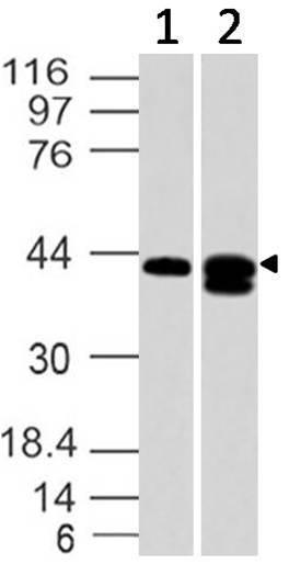 Polyclonal Antibody to SIP1 receptor/Edg-1