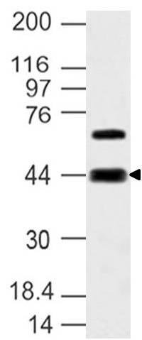 Polyclonal Antibody to S1P3 receptor, Edg-3