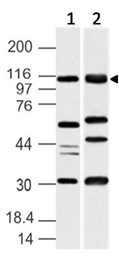Polyclonal Antibody to UBE1L2/MOP-4