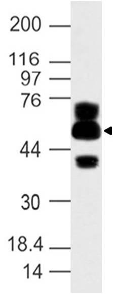 Polyclonal Antibody to APG16L