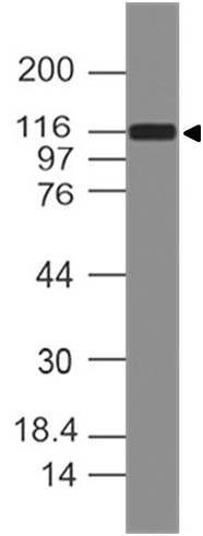 Polyclonal Antibody to DAAM1