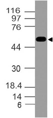Polyclonal Antibody to Nogo-B