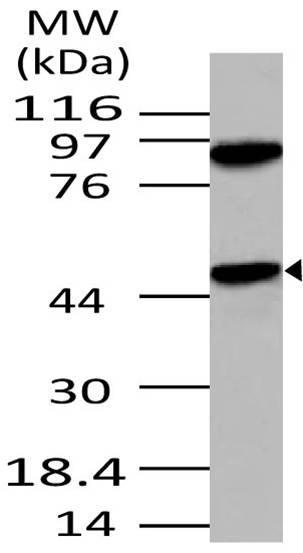 Polyclonal Antibody to APG4B