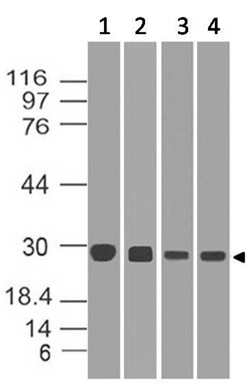 Polyclonal Antibody to Diablo