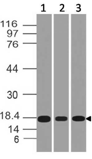 Polyclonal Antibody to SOD
