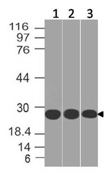 Polyclonal Antibody to 14-3-3