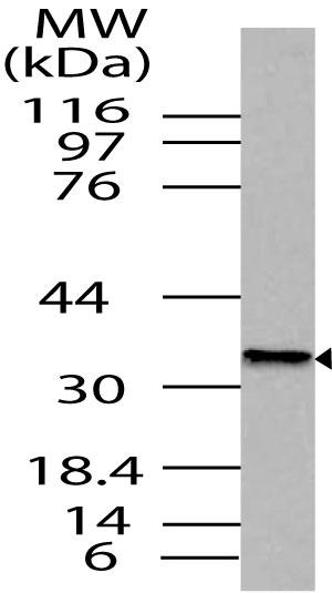 Polyclonal Antibody to Nanog