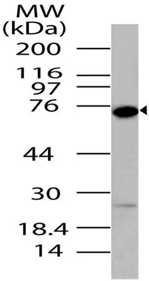 Polyclonal Antibody to DDX4