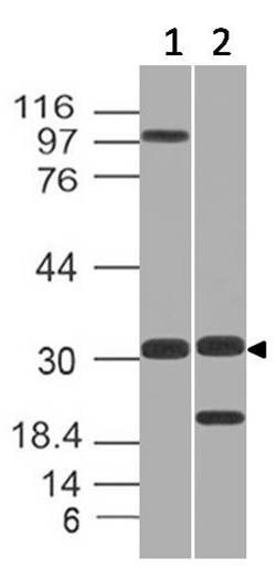 Fig-1: Expression analysis of GNPDA1. Anti-GNPDA1 antibody (11-12005) was used at 1 µg/ml on  (1) h Testis and (2) h Kidney lysates