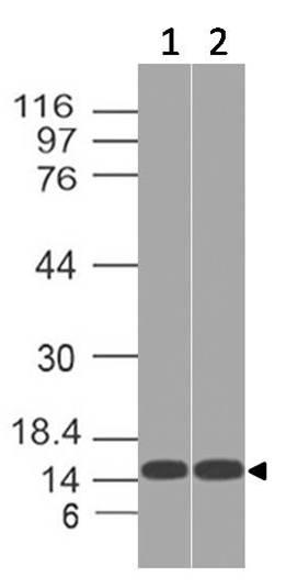 Polyclonal Antibody to THEM2