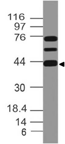 Fig-1: Expression analysis of MEIS1. Anti-MEIS1 antibody (11-12008) was used at 1 µg/ml on h Heart lysate.