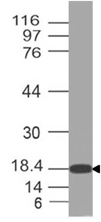 Fig-1: Expression analysis of HMGB3. Anti-HMGB3 antibody (11-12011) was used at 2 µg/ml on 293 lysate.