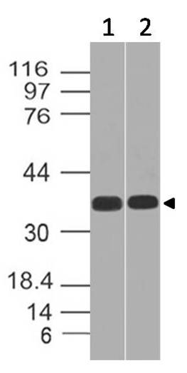Polyclonal Antibody to SC1