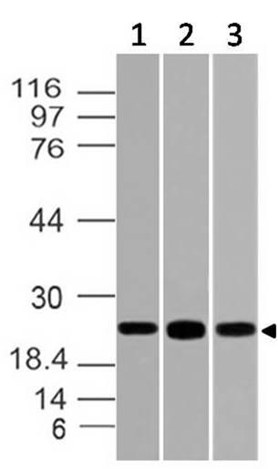 Polyclonal Antibody to POU3F2