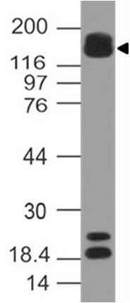 Polyclonal Antibody to MRF2