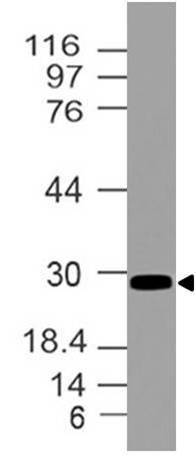 Polyclonal Antibody to HOXB4