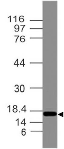 Polyclonal Antibody to Stellar