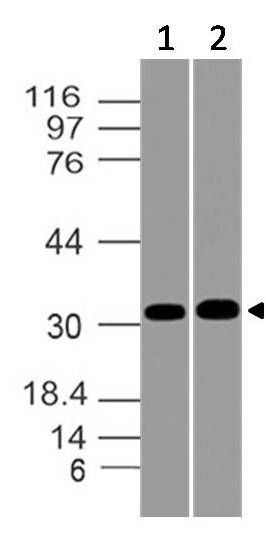 Fig-1: Western blot analysis of HOX7/MSX-1. Anti-HOX7/MSX-1 antibody (11-12044) was used at 4 µg/ml on (1) U87 and (2) HepG2 lysates.