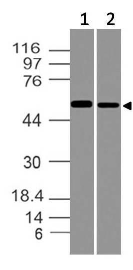 Polyclonal Antibody to SOX9