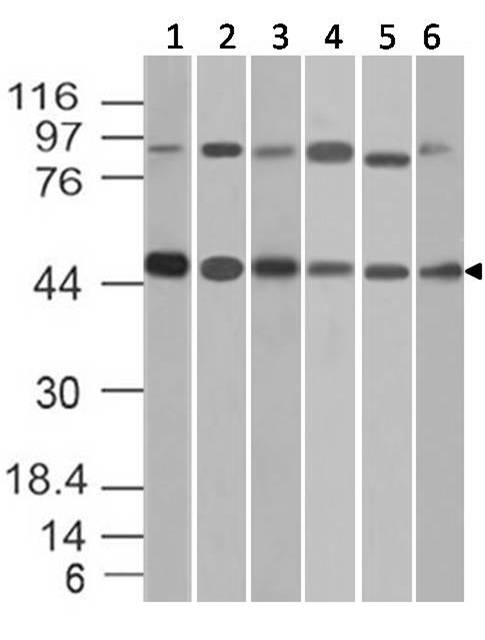 Figure-2: Western blot analysis of Beta Tubulin. Anti- Beta Tubulin antibody (11-13002) was used at 2 µg/ml on 1) C2C12, 2) 293, 3) K562, 4) PC3, (5) A549 and (6) BV2 lysates.