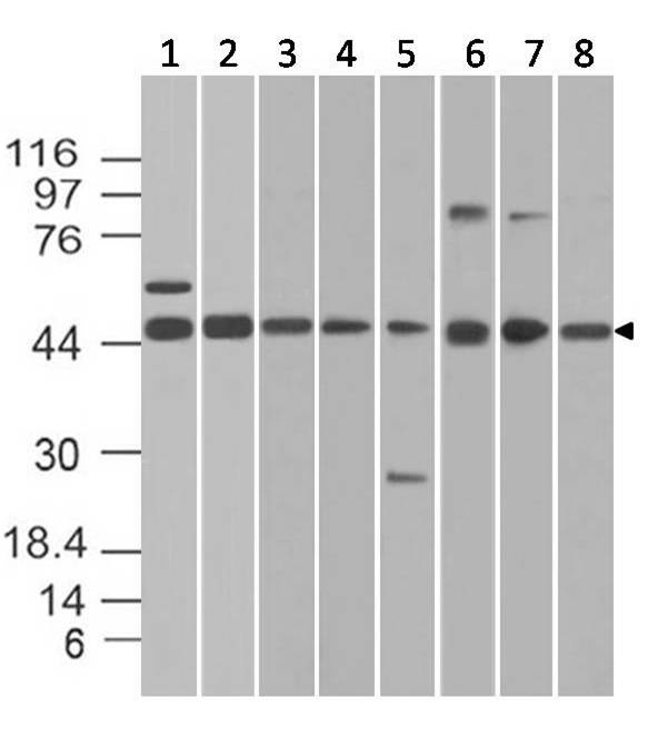 Figure-3: Western blot analysis of Beta Tubulin. Anti- Beta Tubulin antibody (11-13002) was used at 2 µg/ml on 1) m Spleen , 2) m Lung, 3) m Liver, 4) m Colon, (5) r Liver, (6) r Testis, (7) r Kidney and (8) r Ovary lysates.